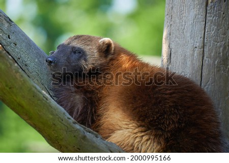 Young Wolverine laying on the branch on the green background. Gulo gulo. Also known as Glutton, Carcajou,  Quickhatchurasian or Kwiihkwahaacheew.                          Stock photo ©