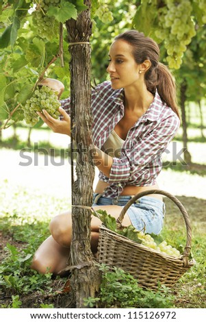 Young woman harvesting prosecco white grapes in a vineyard