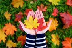 Young woman hold nice bright leaves in two hands, small red and yellow maple leaf lie on open palm. Blurred grass and fallen leaves on background, top-down shot
