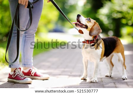 young woman walking with beagle ...