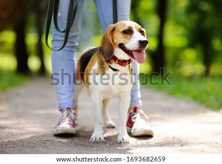 Young woman walking with Beagle dog in the summer park. Obedient pet with his owner. Walking of pets. Сток-фото ©