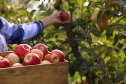 Young woman with wooden crate of ripe apples in garden, closeup