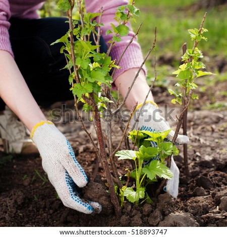 Young Woman working in the Garden. Gardening. Healthy Lifestyle #518893747