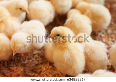 Young yellow baby chicks on a poultry farm.