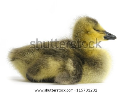 Young yellow Gosling on white background.