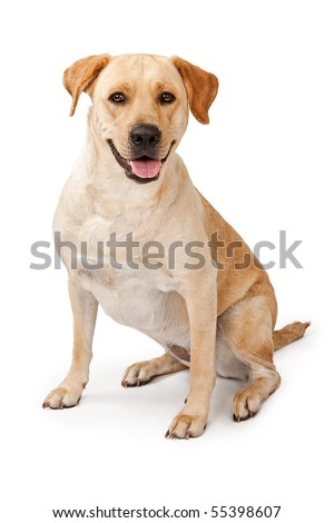 Young Yellow Labrador Retriever dog sitting down and isolated on white