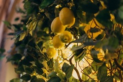 Young yellow lemons on a tall tree. Lemon tree with fruits illuminated by small light bulbs. Wood as a decor in the room is illuminated by light bulbs and yellow dim light.