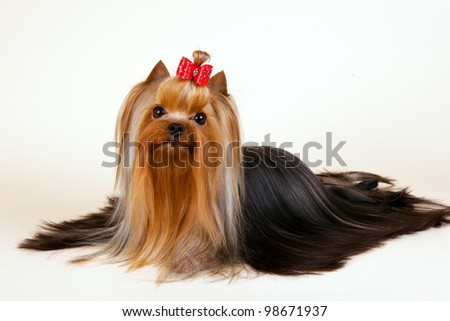 Young Yorkie on light background