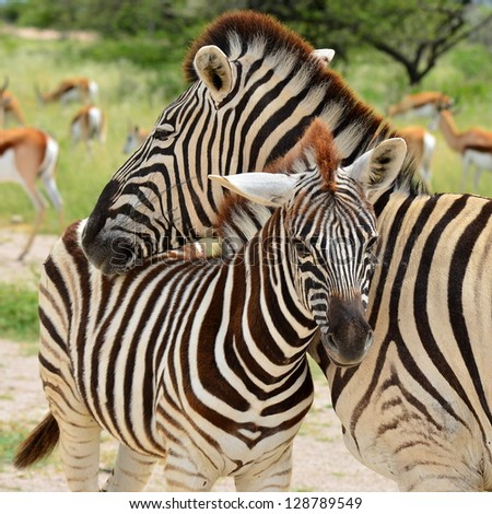 Young zebra cuddling with mum #128789549
