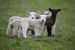 Youngh lamb, farmers Northland Northumbria, Norway. sheep, farmland, easter, two brothers, farming, animal, ireland, scotland,australia, new zealand, auckland, group, love, kiss