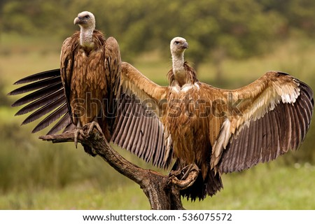 Youngs Griffons vultures. Gyps fulvus Foto stock ©