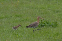 Youngster of Black-tailed Godwit or Limosa limosa is hunting for small insects and following mother in dutch green grassland with flowers of Taraxacum and large leaves of Rumex