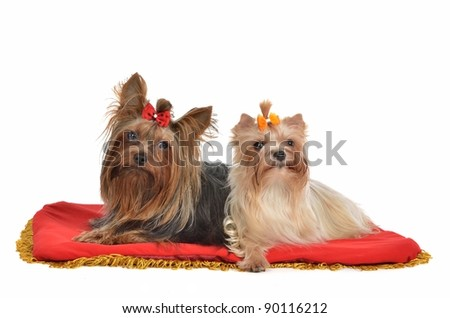 Yourkshire Terrier couple lying isolated on white background