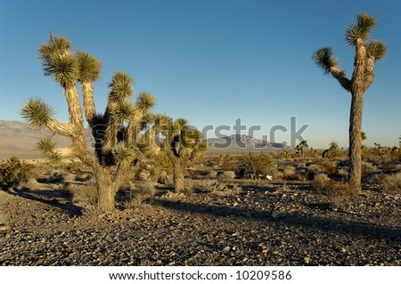 Yucca brevifolia trees, part of the agave family, on a Nevada desert.