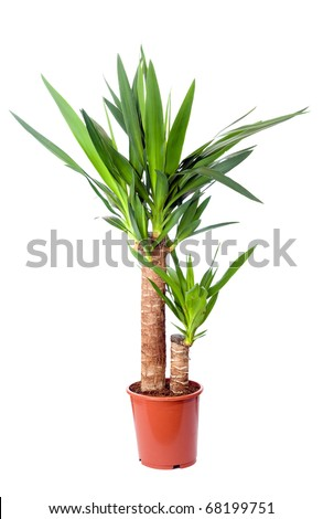 Yucca, house plant in a pot