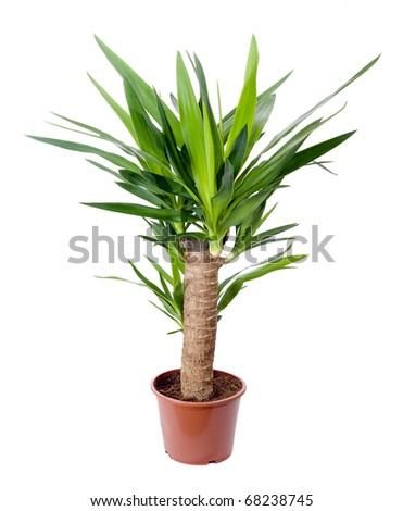 Yucca house plant in a pot stock photo 68238745 for Yucca wohnzimmer