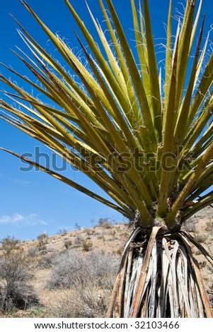 Yucca in Joshua Tree National Park, California. - stock photo