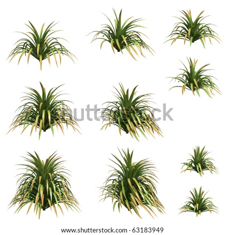 Yucca isolated on white
