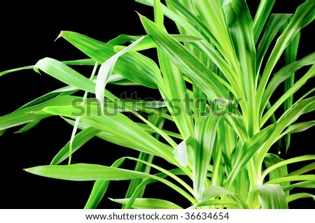Yucca Plant  Isolated On Black Background