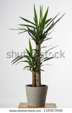 Yucca tree in pots. Common yucca, filamentosa, aloifolia, aloe yucca, dagger plant. House plant isolated on white background #1189873900