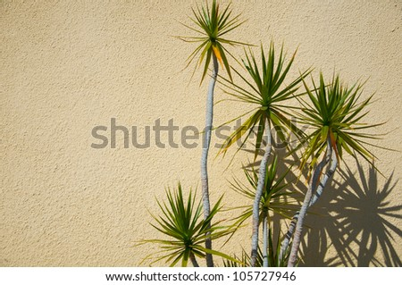 yucca with shadows