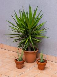 Yukka Plant on pot with 2 small Aloe Vera plants on the side. Tile Brick floor