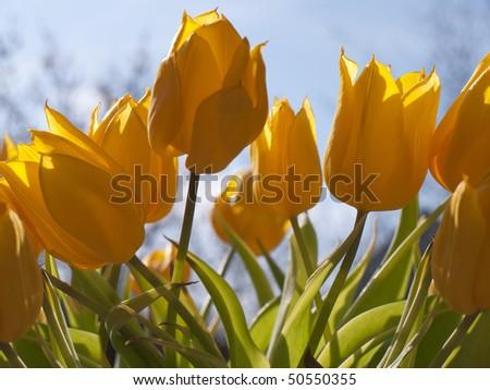 Yyellow tulips