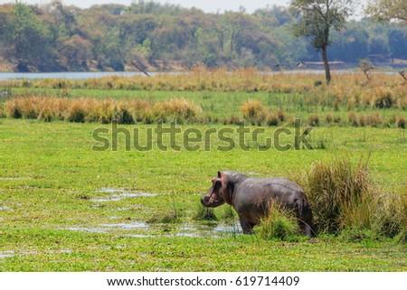 Zambia - Hippo in NP Lower Zambezi