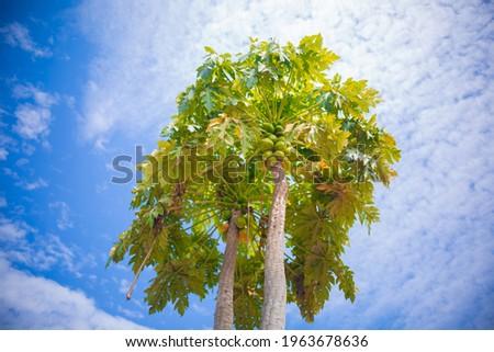 Zambian Pawpaw tree, African Pawpaw tree, Domestic fruit Tree Stock photo ©