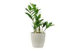 Zamioculcas home plant in beige pot. House plant isolated on white background. Young Zanzibar gem plant in flowerpot.