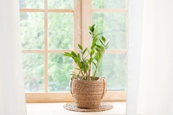Zamioculcas home plant in straw pot stands on a windowsill. Home plants on the windowsill. concept of home gardening. Zamioculcas in flowerpot on windowsill at home. Scandinavian. space for text
