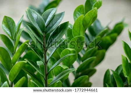 Zamioculcas zamifolia- dollar tree. Zanzibar Gem The tree is named auspicious. Suitable for decorating your home and office.