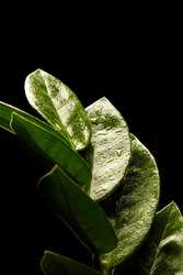 Zamioculcas Zamiifolia flower (dollar tree) isolated on black background. Beautiful green flower with drops of water close-up on a black background. Floral background. Modern houseplants Zamioculcas