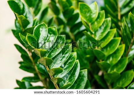 Zamioculcas zamiifolia. It's also known as Zanzibar gem, ZZ plant, Zuzu plant, aroid palm, eternity plant or emerald palm. It's tropical plant also used as a houseplant.