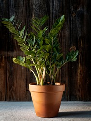 Zamioculcas (ZZ plant, aroid palm or zanzibar gem) in terracotta flower pot on dark rustic wooden background. Indoor green plants, home decoration