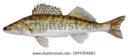 Zander river fish. Pike perch fish isolated on white background