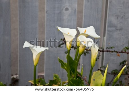 Lilyofthenile on Zantedeschia Aethiopica  Common Names Lily Of The Nile  Calla Lily