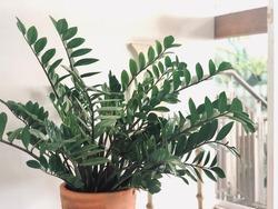 Zanzibar Gem plant or zz plant in the clay pot  inside living room