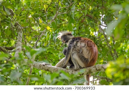 Shutterstock Zanzibar Red colobuses or Kirk's red colobus, Old World monkeys, the most threatened taxonomic group of primates in Africa, - mother with her child - on a tree in Jozani Forest on Zanzibar