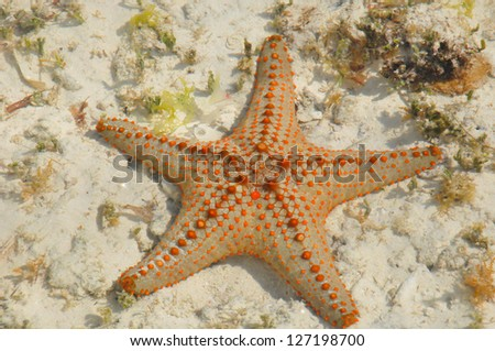 "Zanzibar, Tanzania starfish or sea stars are echinoderms belonging to the class Asteroidea. The names ""starfish"" ; and ""sea star"" essentially refer to members of the class Asteroidea."