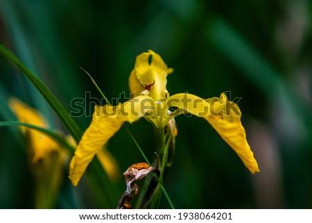 zdjęcie żółtego trzy listnego kwiatka Zdjęcia stock ©