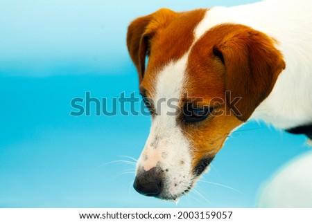 Zdjęcie z bliska jack russell terrier na tle niebieskiej basenowej wody Zdjęcia stock ©