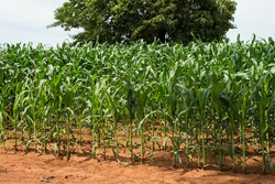 Zea mays - corn plantations at rural area. Brazilian agro industry