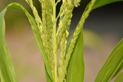 Zea mays flowers on tree closeup