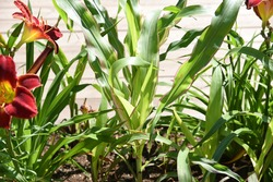 Zea mays japonica, Striped maize: leafy corn grows in the garden in summer