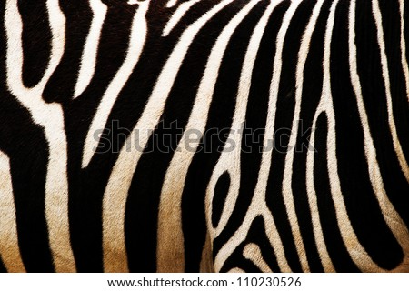 Stock Photo zebra