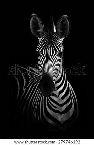 Zebra #279746192