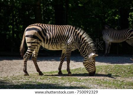 zebra #750092329