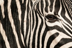 Zebra Abstract image taken on a safari in South Africa