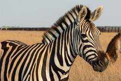 Zebra African herbivore animal standing on the steppe grass pasture